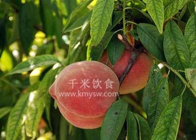 深州蜜桃成为贡品的传说---千米饮食网