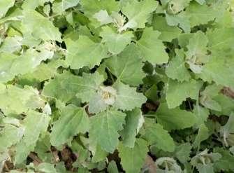 灰菜有毒吗?不能吃的灰菜图片?---千米饮食网