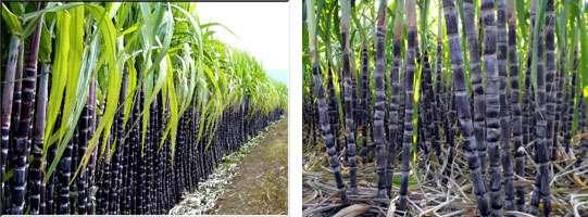 甘蔗的营养价值和如何食用如何挑选