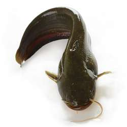鲶鱼的营养功效及食用禁宜与怎样挑选保存等百科介绍---千米饮食网