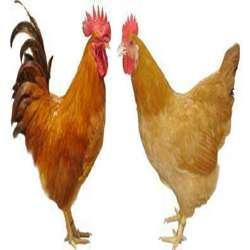 三黄鸡的营养价值和功效及作用以及搭配食用禁忌与选购