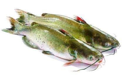 清江鱼(稻田鱼)的营养价值和功效及作用以及搭配食用禁忌