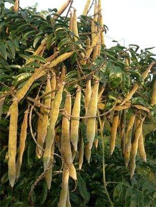 牛大力(大力薯)的营养价值和功效及作用以及搭配食用禁忌