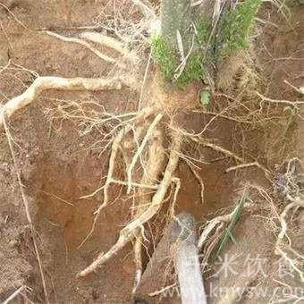 称星木根的功效与作用 治毒蛇咬伤