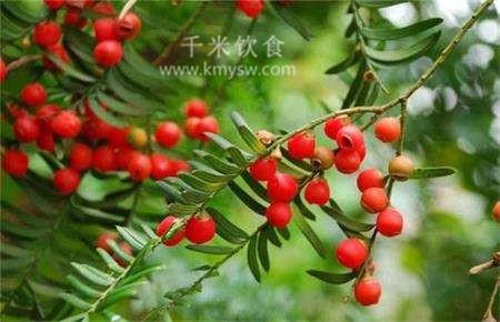 红豆杉全身是宝 红豆杉的功效与作用---千米饮食网