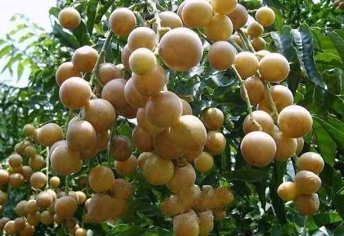 黄皮果的作用与功效及百科介绍---千米饮食网