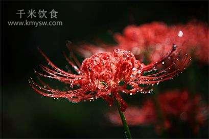 以毒攻毒彼岸花(快乐养老)---千米饮食网