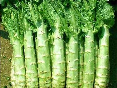 莴苣的起源地---千米饮食网