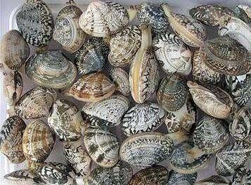 蛤蜊的选购以及处理技巧---千米饮食网