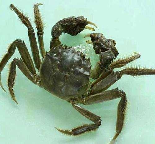河蟹不能和什么一起吃 吃河蟹的禁忌---千米饮食网